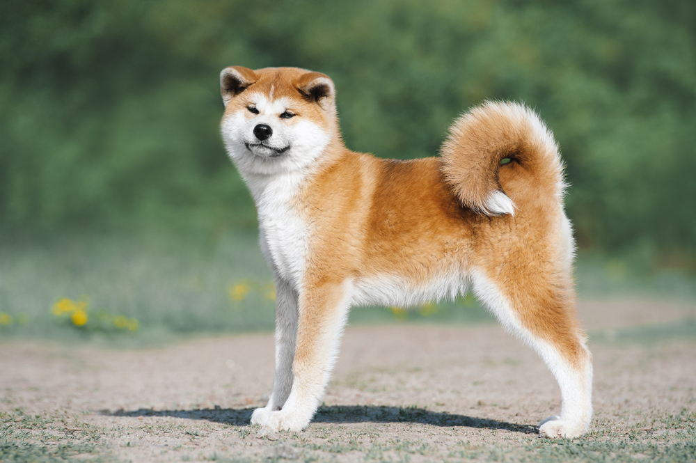 akita inu with a content look on its face