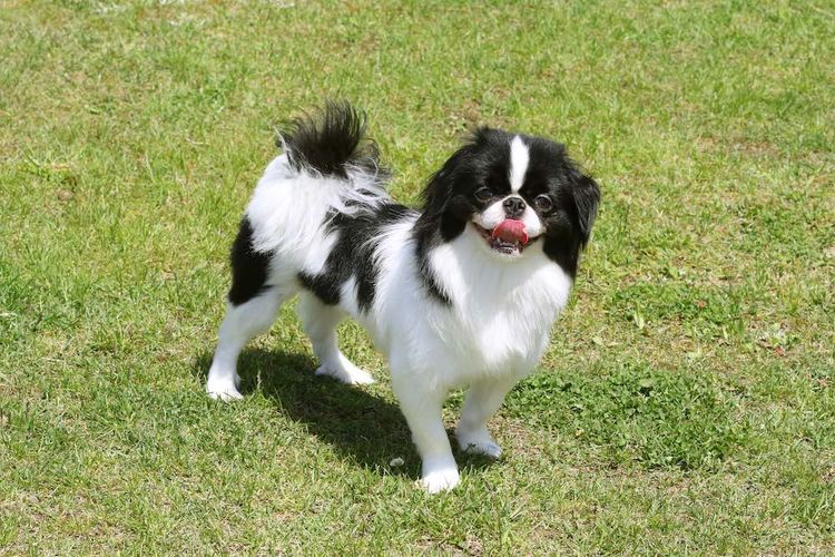 japanese chin looking friendly