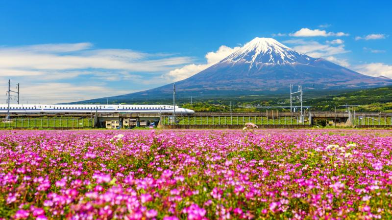 shinkansen speeding through fields of shibazakura with mt fuji in the background