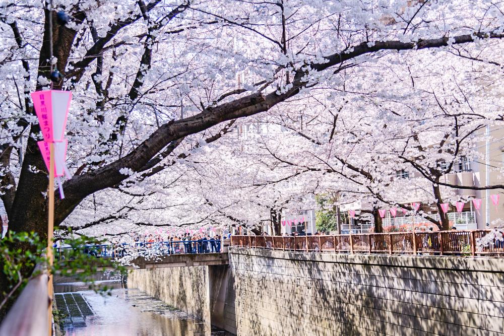 나카메구로 벚꽃