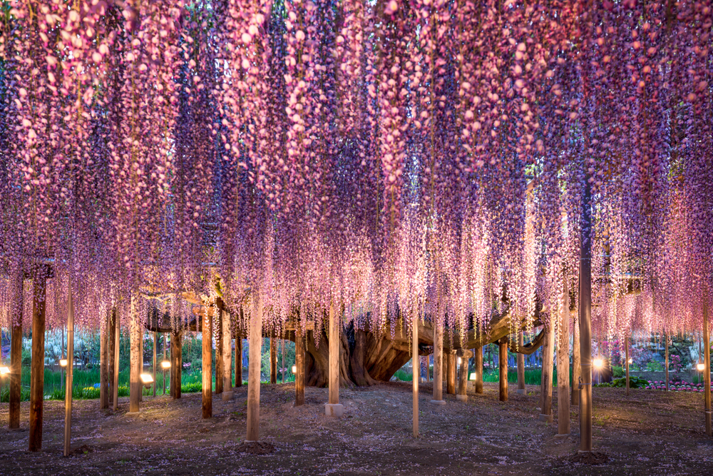 ashikaga flower park wisteria tokyo