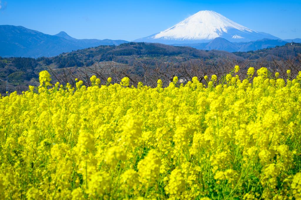 azumayama park mt fuji nanohana rapeseed flowers tokyo
