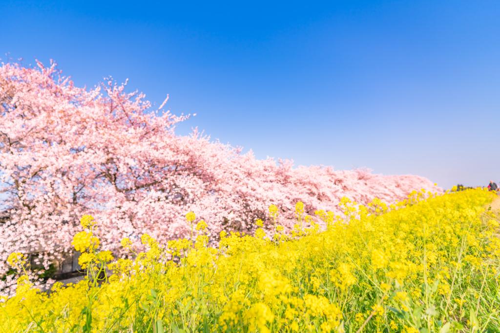 kumagaya sakura tsutsumi cherry blossoms tokyo