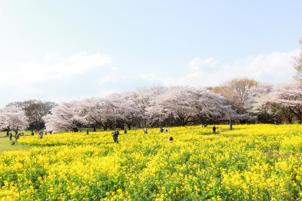 showa kinen park nanohana rapeseed flowers tokyo