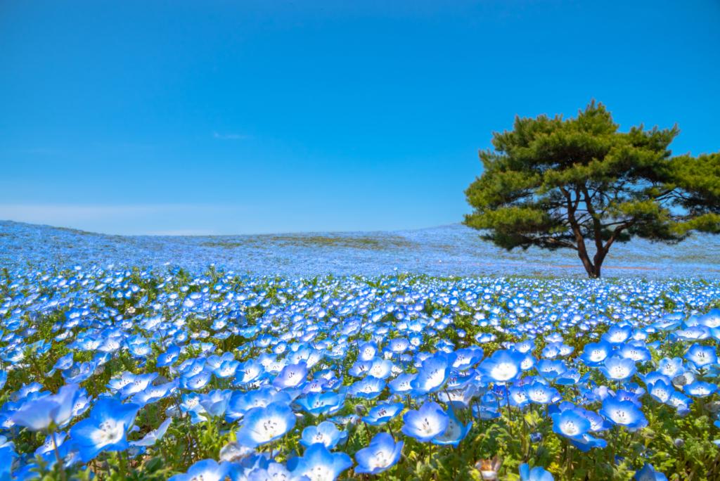 hitachi seaside park nemophila baby blue eyes