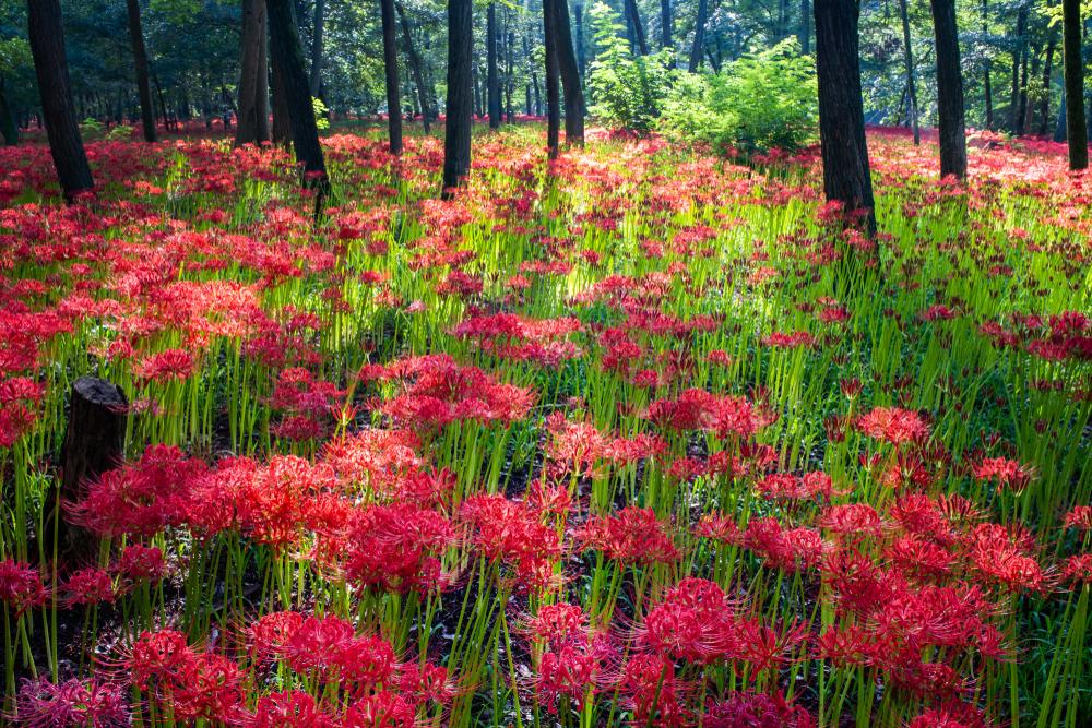 higanbana kinchakuda tokyo flowers