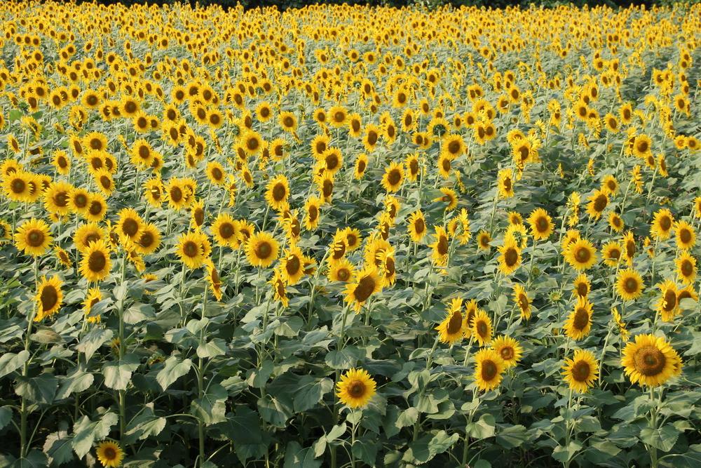 zama sunflower festival tokyo flowers