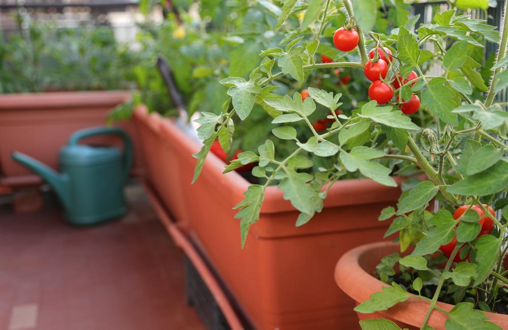 Tomatoes on balcony