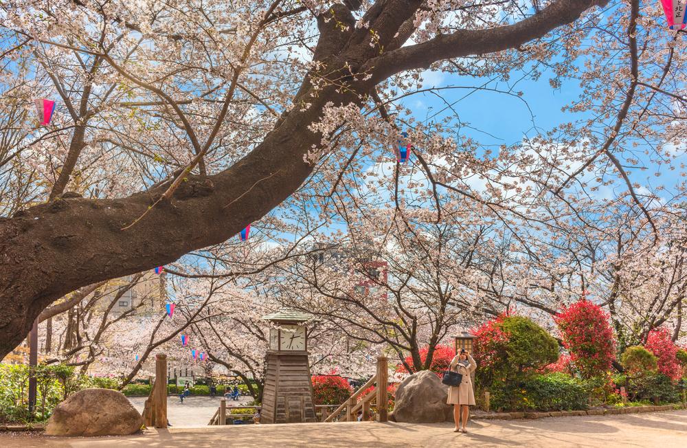 asukayama park cherry blossoms sakura tokyo