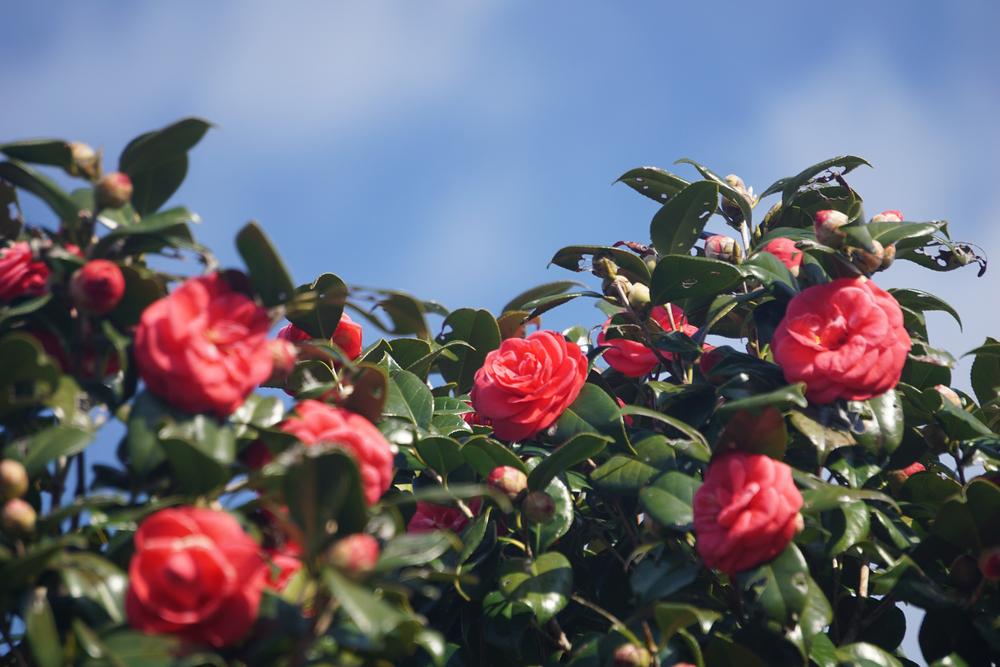 camellia oshima park tokyo flowers