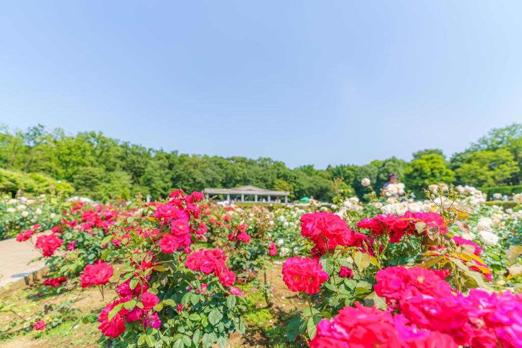 jindai botanical garden roses tokyo flowers