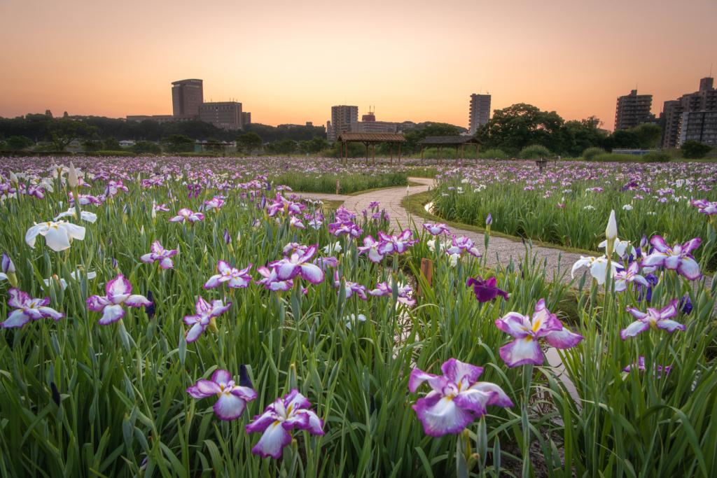 koiwa shobu garden iris tokyo flowers