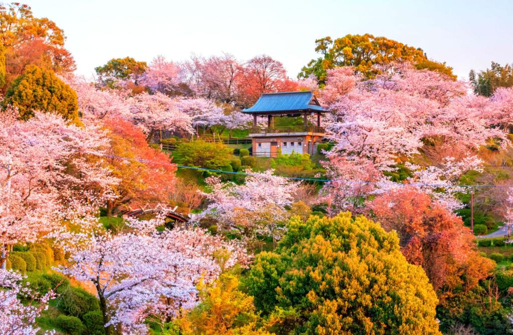 sakura at Kikuchi Park (Kikuchi, Kumamoto)