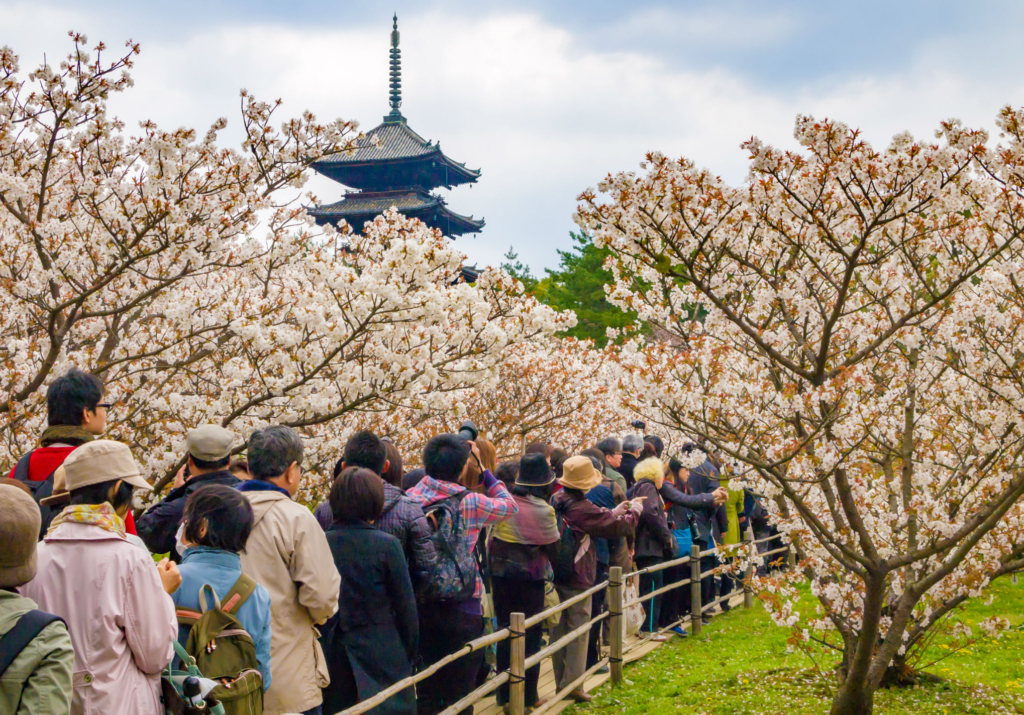 kyoto ninna-ji sakura