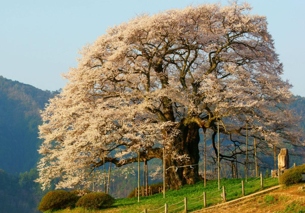 maniwa daigo sakura