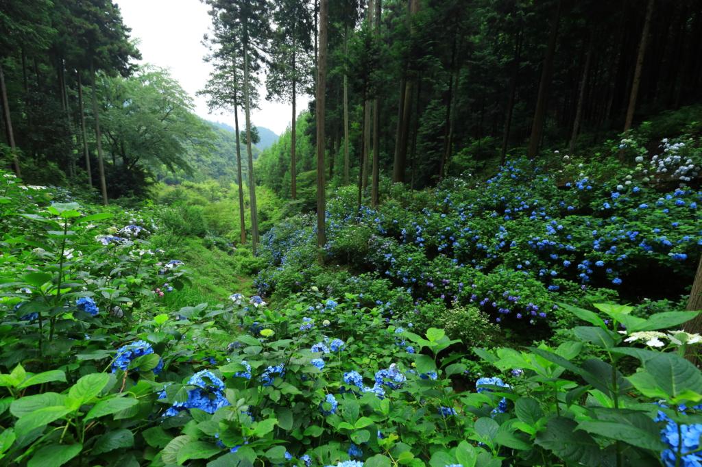 minamisawa ajisai mountain hydrangea tokyo flowers