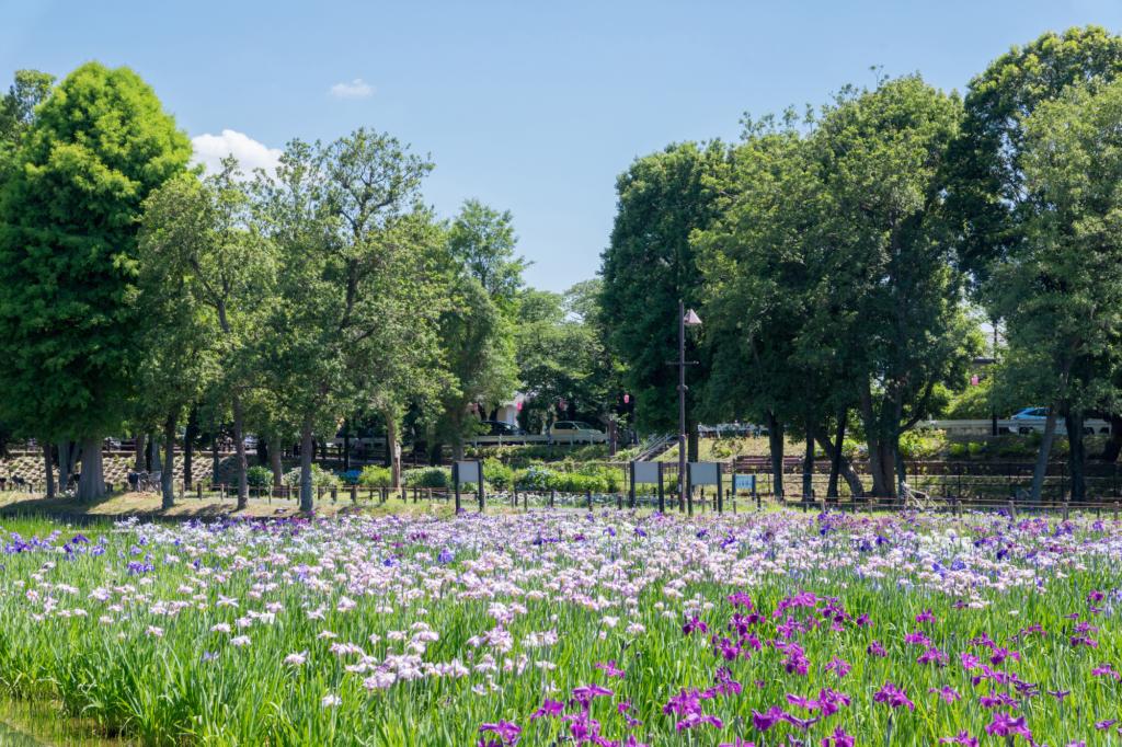 mizumoto park iris tokyo flowers