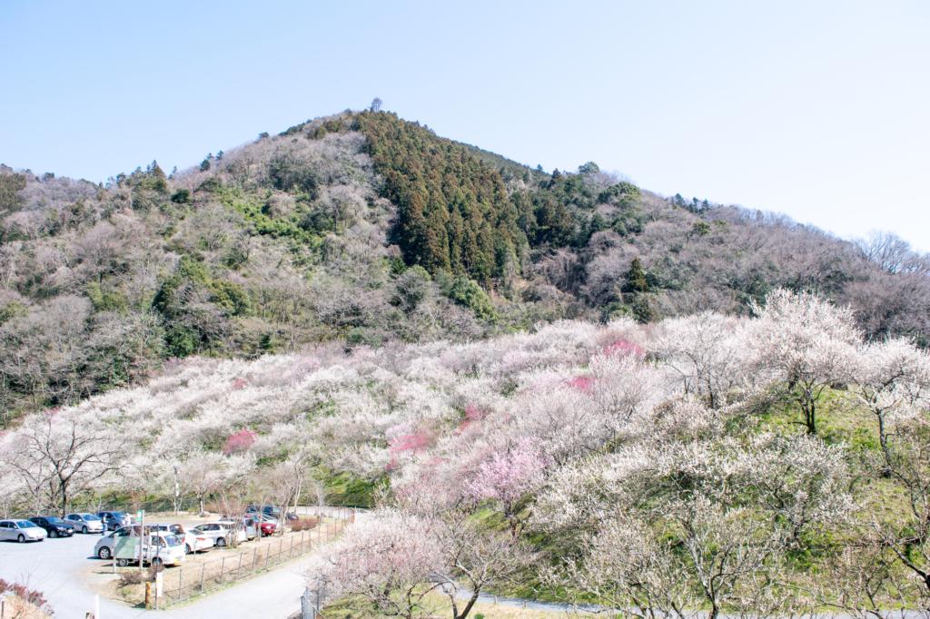 mt takao baigo plum plossoms tokyo