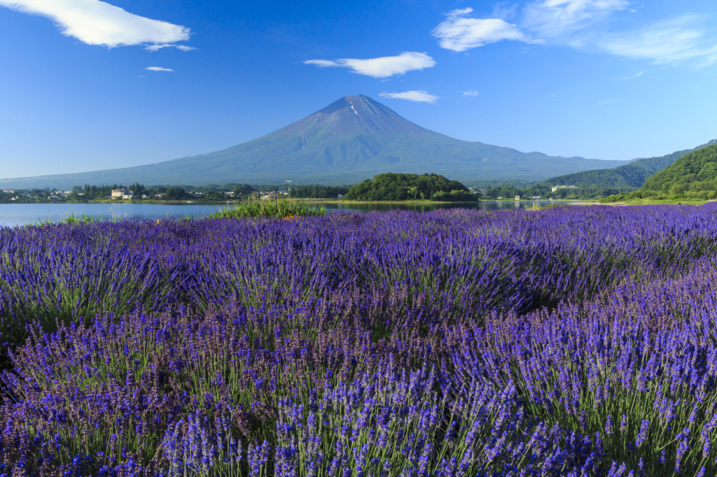 oishi park lavender yearly guide to flowers blooming in tokyo