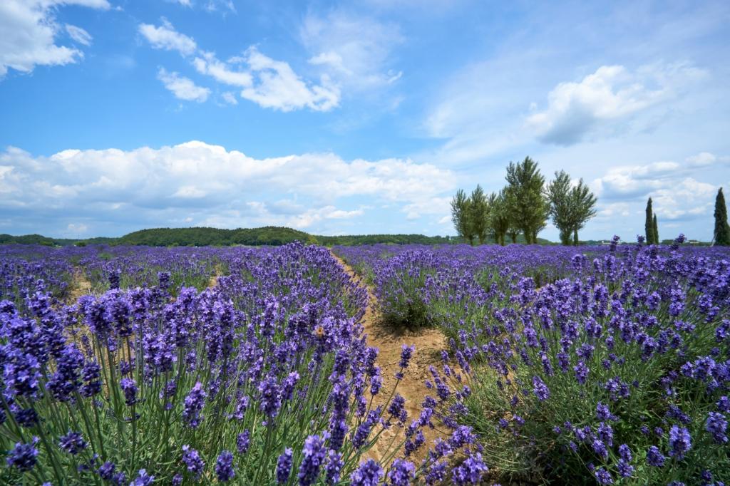 sakura lavender land yearly guide to flowers blooming in tokyo