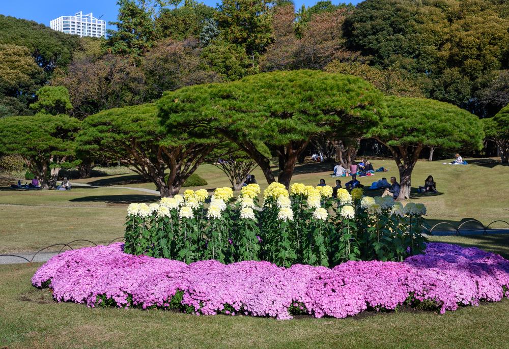 shinjuku gyoen chrysanthemum tokyo flowers