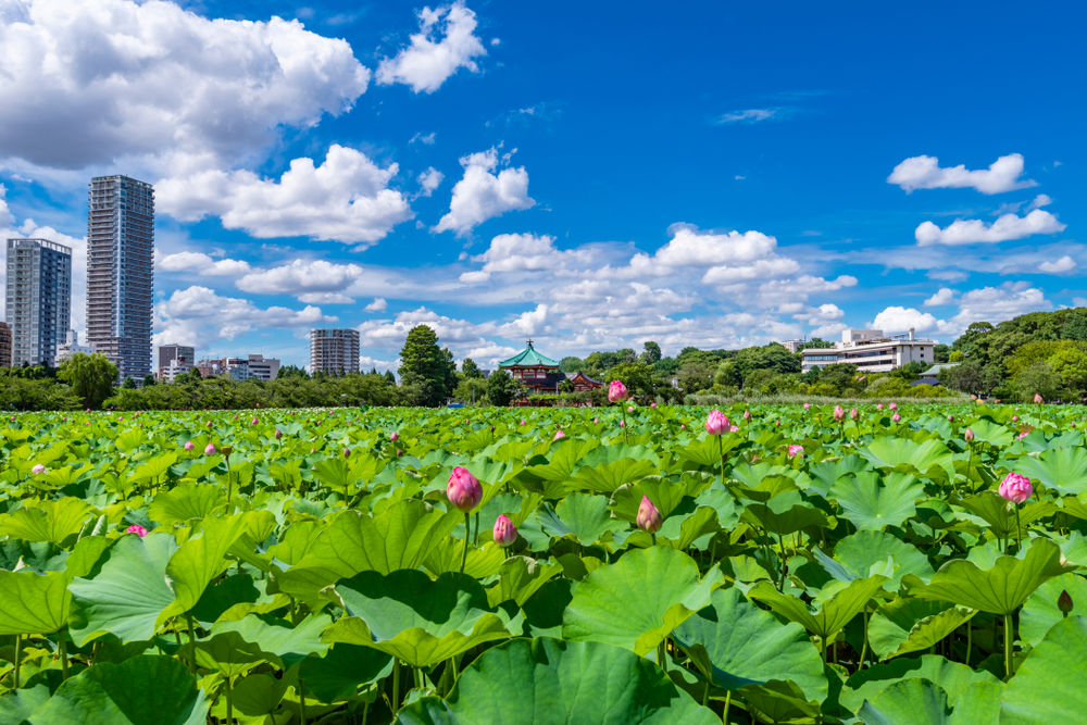 shinobazu pond ueno park lotus flowers tokyo