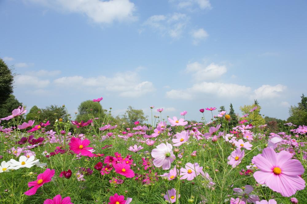 cosmos showa kinen park toyko flowers