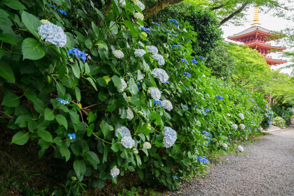 takahata fudoson hydrangea tokyo flowers