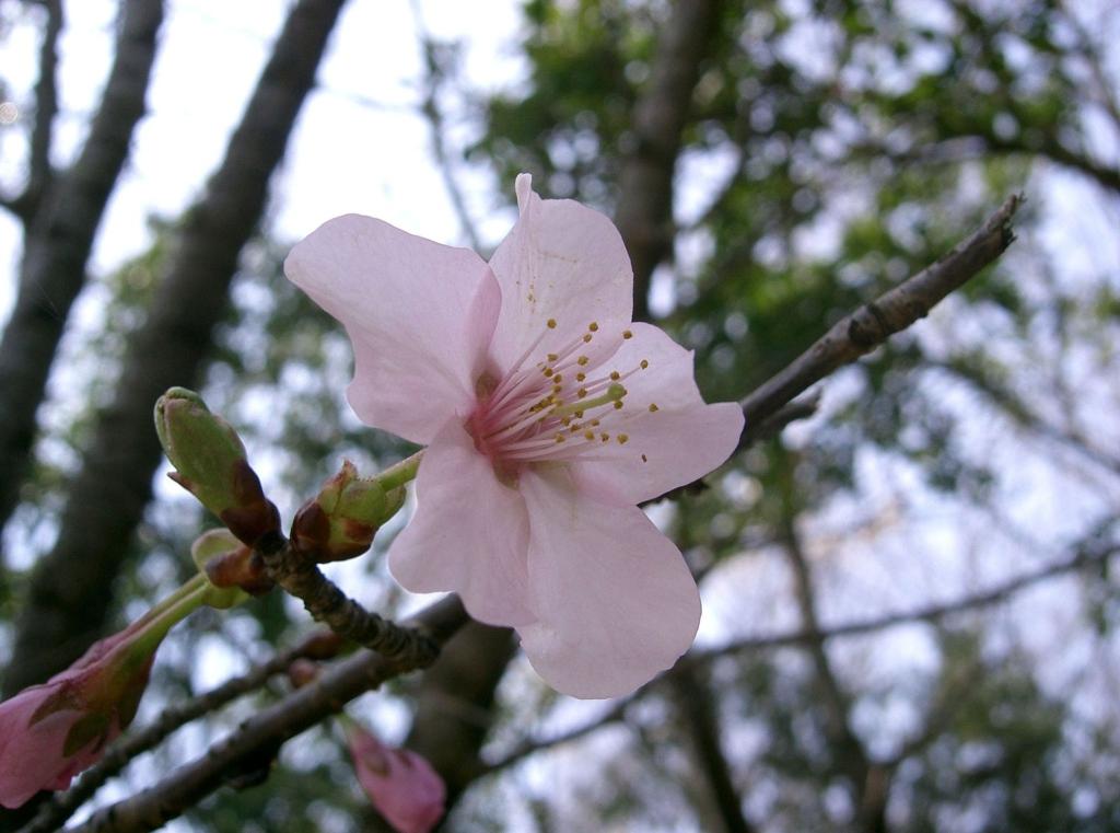 日本山櫻花近照