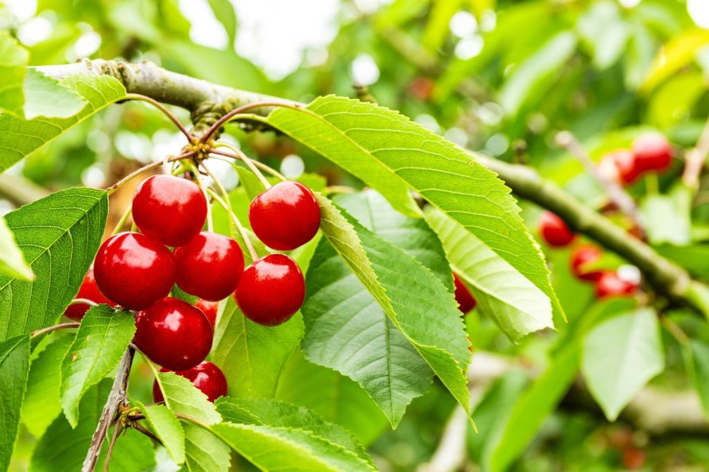 樹上結果櫻桃的近照